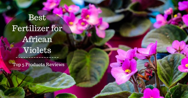 The Best Fertilizer for African Violets – Top 5 Products